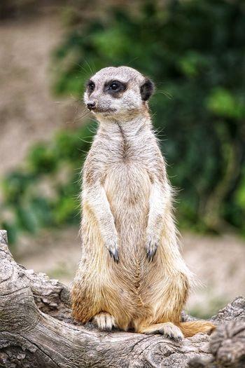 meerkat Meerkat