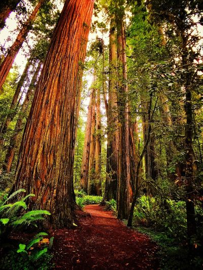Giant beauties Natural Beauty Giant Redwoods Redwood National Park Tree Plant Nature No People Growth Sunlight Day Park Forest Outdoors Beauty In Nature Land