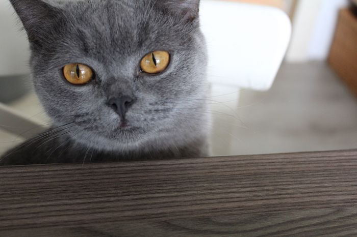 The Purist (no Edit, No Filter) Cat Kitten Kitty Kittycat Kitty Cat Cats Cat♡ Cat Lovers Pet Pets Pet Photography  British Shorthair Grey Cute Cute Pets Cute♡ Cute Cats Adorable Beautiful Pretty Eyes Eyes Alertness Taking Photos Check This Out