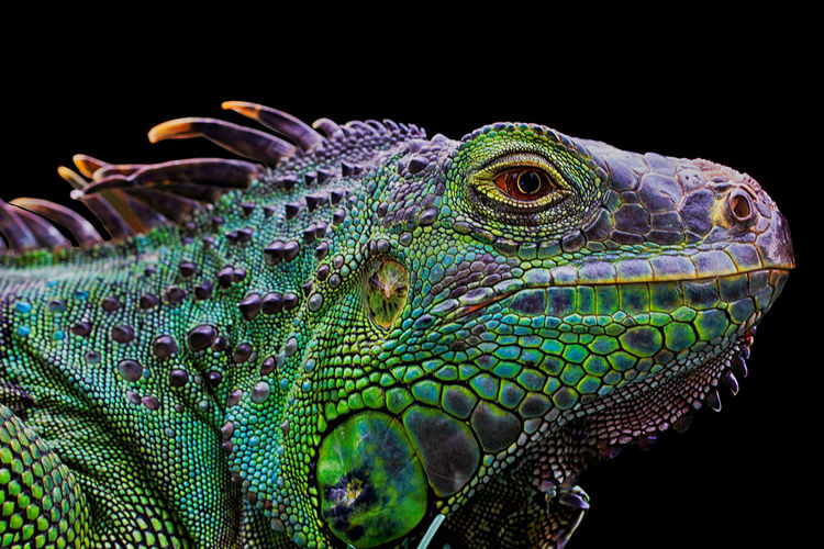 Close-up of an animal over black background