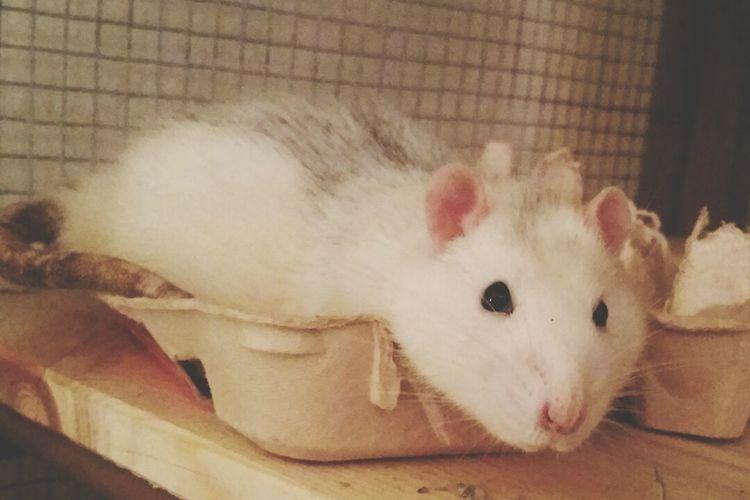 Robins neues bett xDDD ʟᴏᴠᴇɪᴛ ᴘʜᴏᴛᴏ Ratstagram Rattie Ratties Rat Rats Ratte Pet Animal Animals