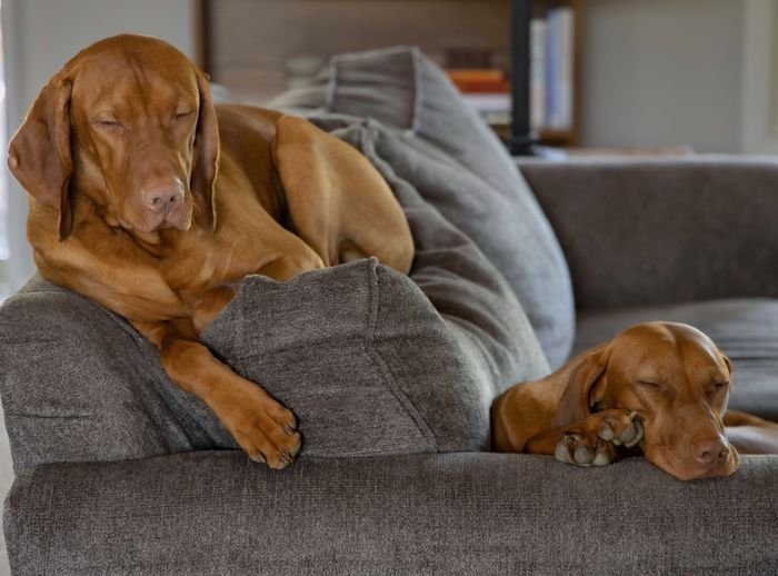 Lazy Saturday Vizsla Canine Relaxation Dog One Animal Pets Mammal Animal Themes Domestic Animals Animal Domestic Indoors  Sofa Furniture Home Interior Brown Resting Sleeping No People Eyes Closed