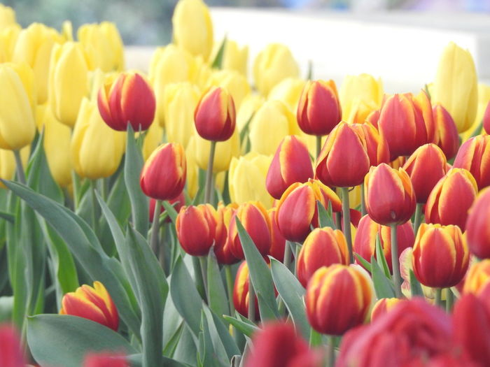 Freshness Flower Flowering Plant Tulip Plant Beauty In Nature Fragility Vulnerability  Close-up Petal Flower Head Inflorescence Growth Nature Selective Focus Yellow No People Multi Colored Day Red Outdoors Springtime Flowerbed