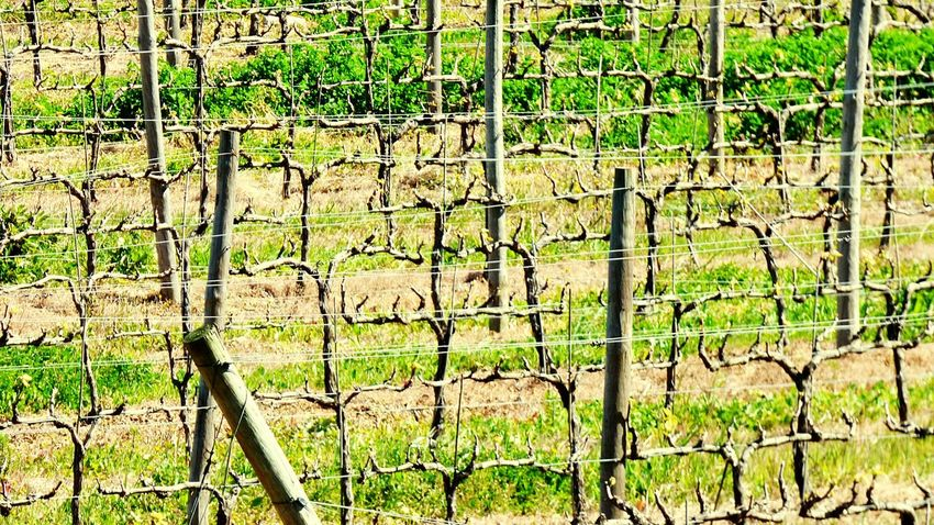 The Vineyards In Winter Showcase March Branches Wood Pole Green Wood Field Day Fieldscape Nature_collection Vineyard Vines Taking Photos