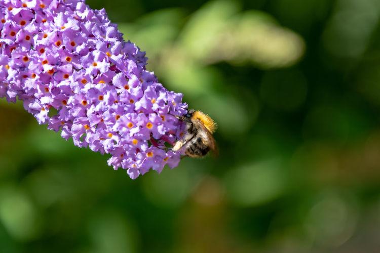 Honeybee on a