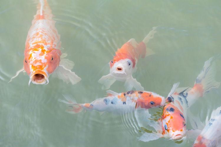 No People Underwater Goldfish Swimming Water Day Outdoors Animal Themes UnderSea Close-up ปลาคราฟ สัตว์น้ำ ปลาสวยงาม สัตว์เลี้ยง