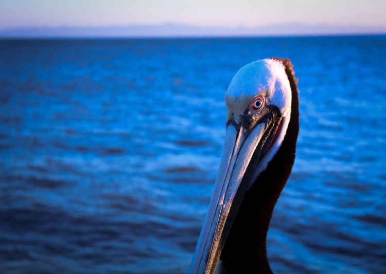 Close-Up Of Pelican On Sea