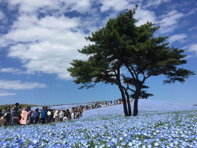 ネモフィラ 空 ひたち海浜公園 Nemophila Flower Tree Sky Cloud - Sky Blue Beauty In Nature Enjoying Life Japan