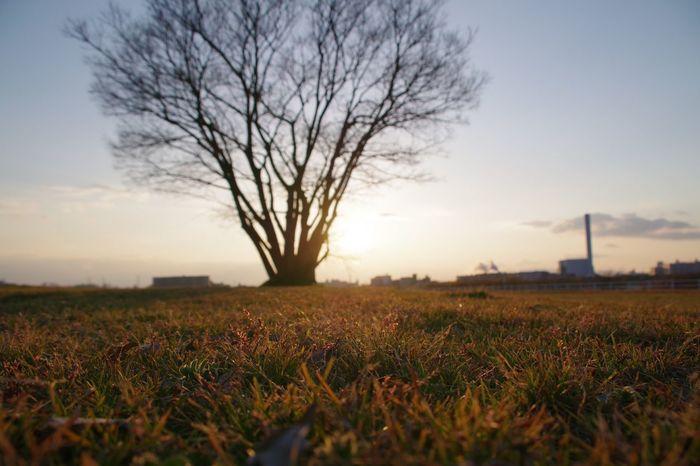 Sunset Sky 淀川 Tree