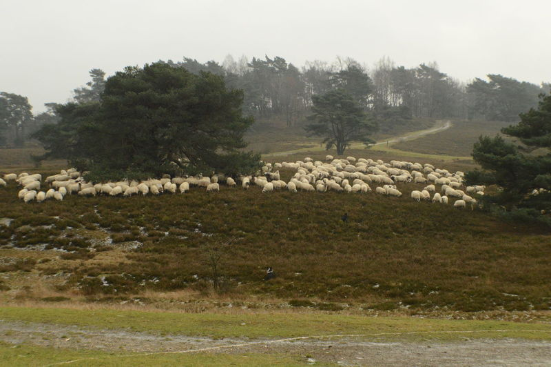 Brunssumerheide Grass Landscape Limburg Nature Nederland Outdoors Sheeps Shepperd