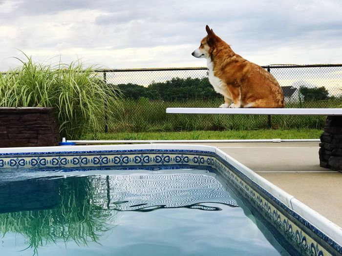 Dutchess IPhoneArtism IPhone 7 Plus Dog Love Pet Perspective Stoic Idyllic IPhone Photography IPhoneography Dog Love Summertime ♥ Elégance Fearless Funny Pets Dog Diving Summertime Corgi Dogs Water Sky Mammal Animal Animal Themes One Animal Vertebrate Pets Domestic Pool Domestic Animals Swimming Pool Outdoors