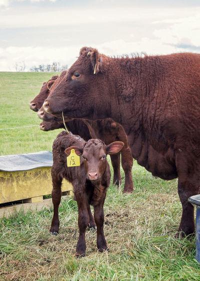Hefers Hefer Cow Farm Farm Life Cattle Calf Calf