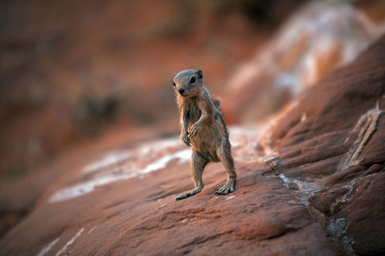 Close-up of meerkat on rock