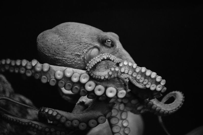 Animal Animal Scale Animal Themes Animal Wildlife Animals In The Wild B&w Black And White Black Background Close-up Delicate EyeEm Best Shots EyeEm Nature Lover Life Marine Marine Life Mollusk Moving Nature Night No People Octopus One Animal Tentacle Underwater Wildlife