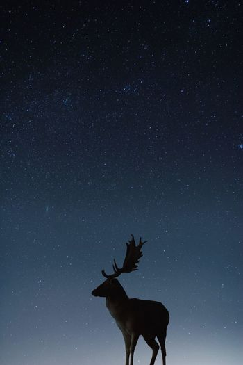 The beauty of the night Minimal Minimalism Animals Sky Silhouettes Silhouette EyeEm Gallery EyeEm Nature Lover EyeEm Selects EyeEm Wildlife Night Animals In The Wild Night Animal Themes Mammal Scenics - Nature Animal Wildlife Deer Nature Silhouette Galaxy Star Beauty In Nature Space And Astronomy Deer One Animal Outdoors Standing My Best Photo The Great Outdoors - 2019 EyeEm Awards