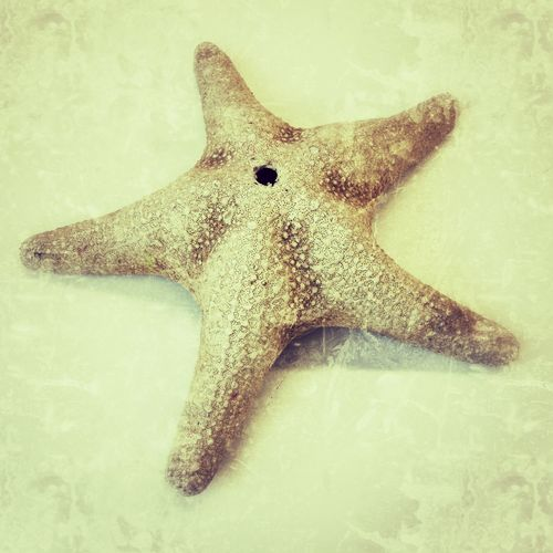 Starfish One Animal White Background Indoors  Close-up No People Dried Skeleton Animal Themes Mammal Day