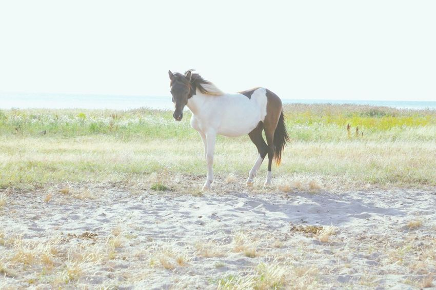 Beautiful Nature Natural Beauty Horse Horses Wildlife Photography Wildhorse Softness Open Air Poetic Background Wallpaper Design Animal Photography Animals In The Wild Mammal In Nature Coastal Life One Animal Wild Animal Walldecoration Walldesign