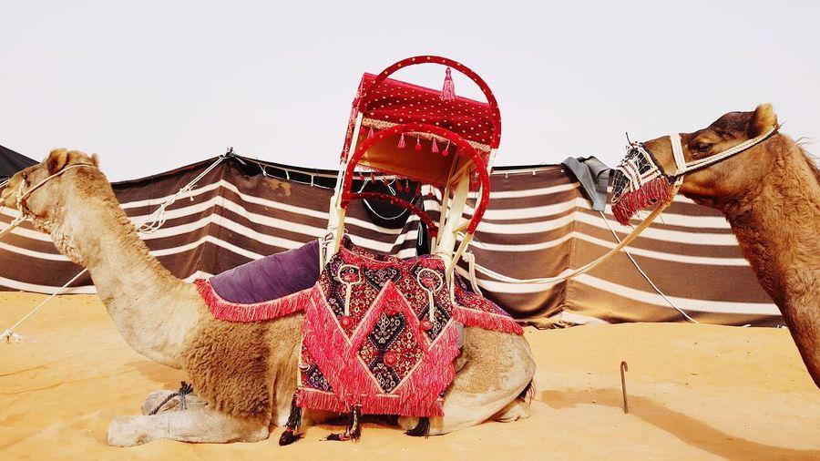 Camel festival in Saudi Arabia Camel Camels Camel Hump Tradition Traditional Traditional Clothing Traditional Culture Traditional Festival Saudi Arabia Saudi Desert Landscape Desert Life Camel Festival Traditions Over The World Desert Sand Dune Sand Turban Festival
