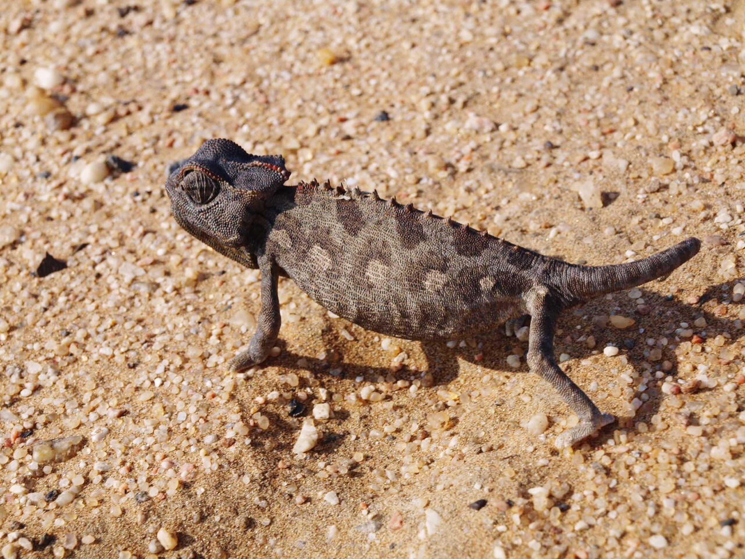 animal themes, one animal, animals in the wild, wildlife, sand, beach, high angle view, reptile, full length, nature, lizard, day, outdoors, rock - object, zoology, close-up, sunlight, ground, no people, insect