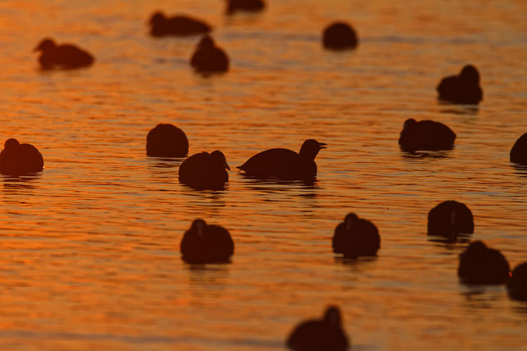 Silhouette of coots swimming on lake in sunset