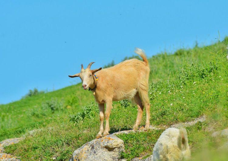 Animals Goat Nature Green&Blue Nikonphotography Nikon Nikon D5200 Severekçekiyoruz