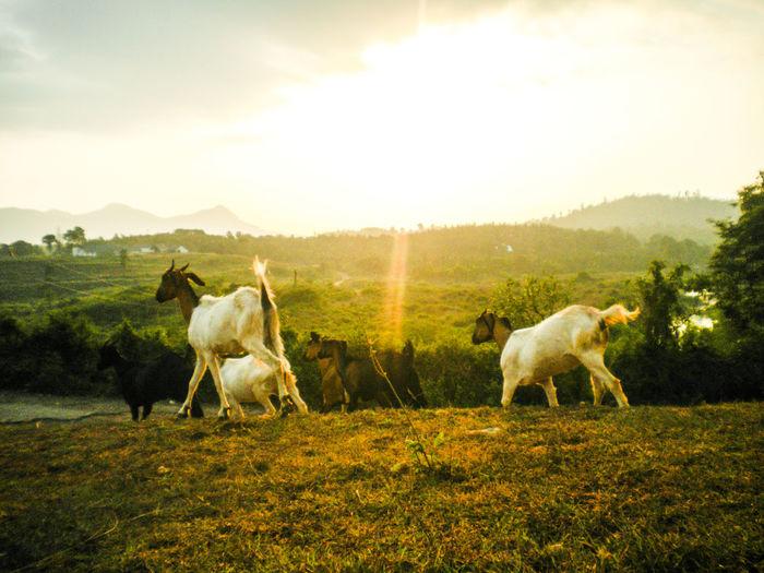 Goats walking on grassy field