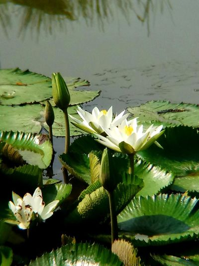 Beauty In Nature Close-up Day Flower Flower Head Flowering Plant Freshness Lake Leaf Lotus Water Lily No People Outdoors Plant Plant Part Water Water Lily