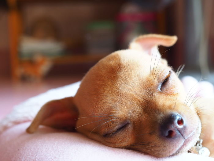 Close-up of a dog resting at home