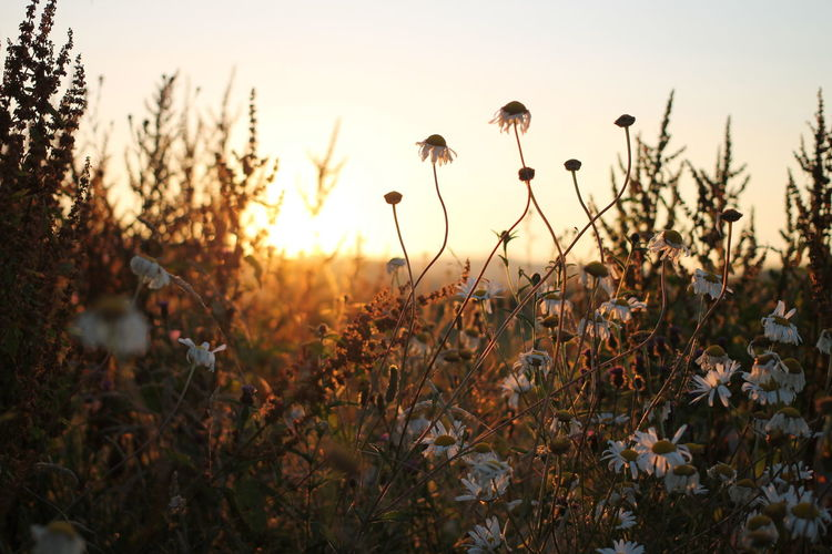 Daisys and sunset Wales Powys Newtown Summee Sunset Flower Flower Head Sunset Cereal Plant Rural Scene Poppy Summer Sunlight Silhouette Uncultivated In Bloom Wildflower Blooming Daisy Botany Blossom
