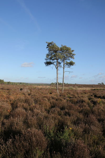 Gorse Thursley Common Beauty In Nature Blue Day Field Grass Growth Landscape Lone Nature No People Outdoors Outdoors Photograpghy  Scenics Sky Solitude Surrey Countryside Tranquil Scene Tranquility Tree Tree Trunk