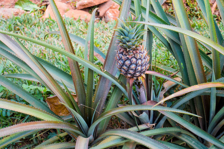 Cuba Viñales Ananas Beauty In Nature Carribean Close-up Day Flower Food Fragility Freshness Growth Nature No People Outdoors Plant