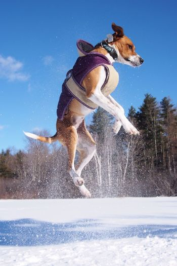 Full Length Of Dog Jumping In Snow