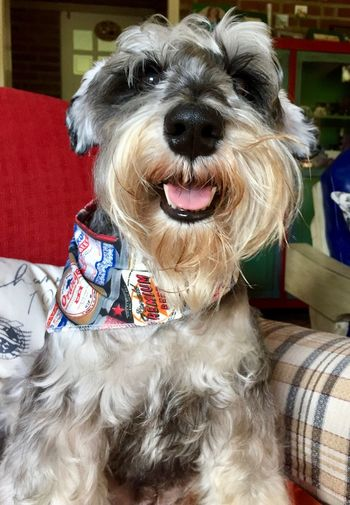 A happy schnauzer after the bath... Animal Animal Themes Close-up Day Dog Domestic Animals Happy Dog! Indoors  Mammal No People One Animal Pet Photography  Pets Portrait Schnauzerlife