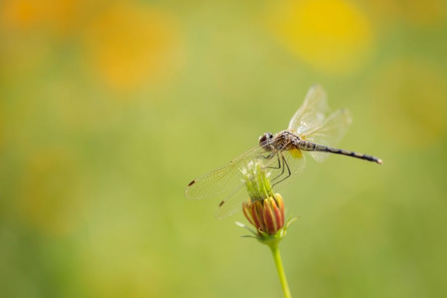 A Dragonfly on Yellow Flower. Animal Animal Themes Animals In The Wild Beauty In Nature Close-up Day Dragonfly Flower Insect Natural Natural Beauty Natural Light Nature Nature Nature Photography Nature_collection No People One Animal Outdoor Outdoors Plant Thailand Thailand_allshots Thailand_allshots_nature Wings