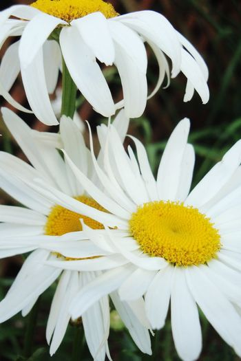 Daisies Flower Head Flower Yellow Petal White Color Uncultivated Close-up Plant Pollen Daisy