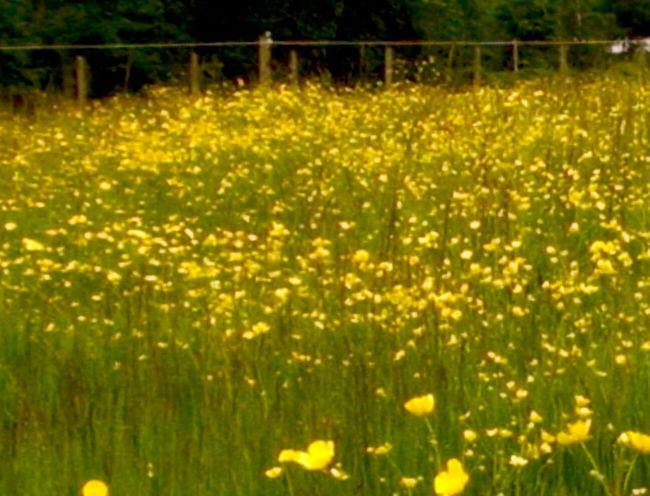 The buttercup field Tranquil Scene Close-up Scenics Freshness Beauty In Nature Outdoors No People Spring Into Spring Landscape Tranquility Illuminated Yellow Flowers Warmth Of The Sun Love♥ Shadow And Light Flower Enumclaw, WA cowboy country Paint The Town Yellow Lost In The Landscape