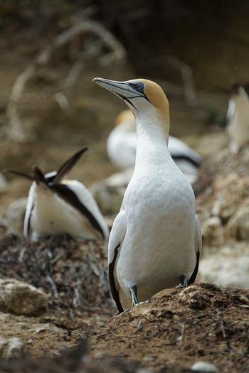 Gannet posing