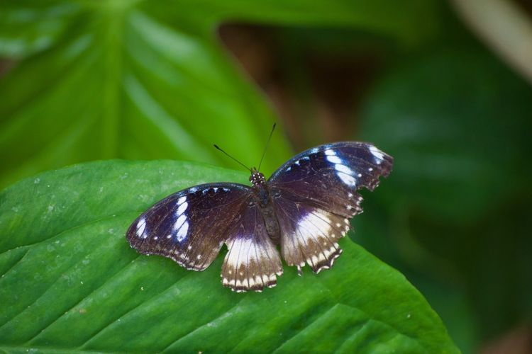 Animal Themes Animals In The Wild Beauty In Nature Butterfly Butterfly - Insect Close-up Day Fragility Freshness Green Color Insect Leaf Nature No People One Animal Outdoors Perching Plant Wild Animal