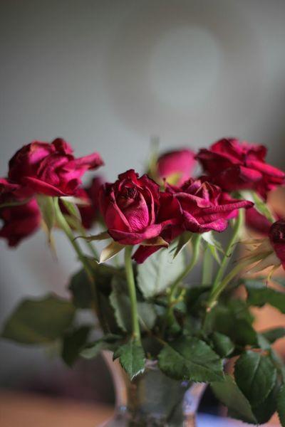 Taking Photos Roses Red Rose Deadflowers Deadbeauty Flowers SignOfLove Eye4photography