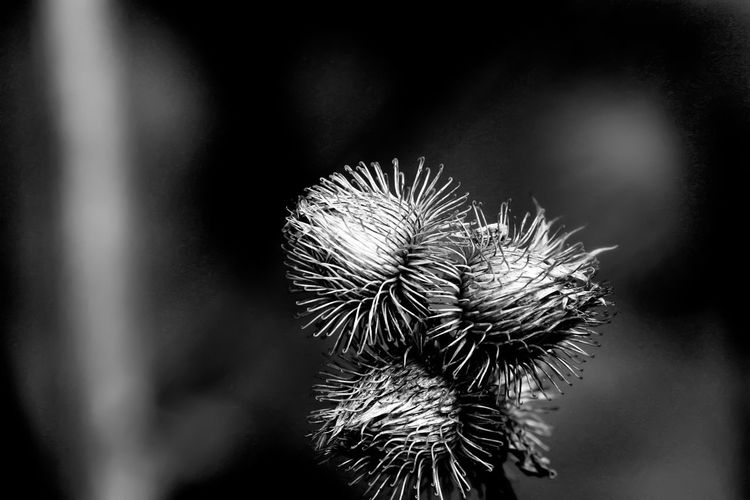 Beauty In Nature Blackandwhite Close-up Day Flower Flower Head Focus On Foreground Fragility Freshness Growth Nature No People Outdoors Plant Thistle