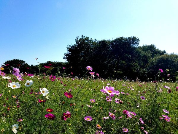 Growth Flower Nature Plant Beauty In Nature Outdoors No People Day Sky Tree Flower Head Japan Season  Color Season  Blossom Floral Leaf Cosmos Cosmos Flowers Autuman Growth Beautiful Perspectives On Nature