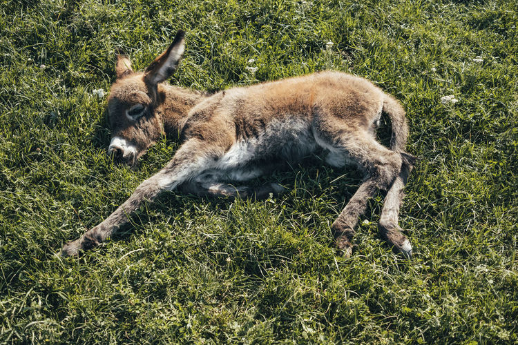 Mammal Animal Themes Animal One Animal Grass Plant Animal Wildlife Vertebrate Animals In The Wild No People Nature Land Full Length Domestic Animals Field Day Relaxation Pets Lying Down Domestic Donkey Donkeys Baby Baby Donkey Babydonkey
