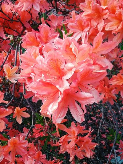 Flowers Spring Azaleas Nature Ferndale,Ca Humboldt County,Ca Beautiful Sunny Day