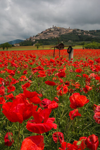 Beautiful field of red poppies in the countryside of Trevi, Umbria Poppy Poppy Flowers Poppies  Poppies In Bloom Flower Head Flowers Trevi Umbria Village Medieval Rural Scene Rural Agriculture Cloudscape Panorama Water Well Cityscape Travel Destinations Travel Italy Europe Clouds Spring Springtime Natural View Scenics Scenery Amazing Wonderful Love Passion Flora Backgrounds Card Vacations Flower Flowering Plant Sky Beauty In Nature Plant Cloud - Sky Red Freshness Nature Fragility Growth Field Land Vulnerability  Landscape Environment Scenics - Nature Tranquility Day Outdoors Flowerbed