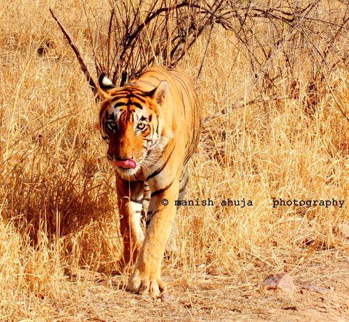 Tigers Wild Life Photograph Tigers Tiger Wild India Ranthambore National Park Ranthambore Wild Animals
