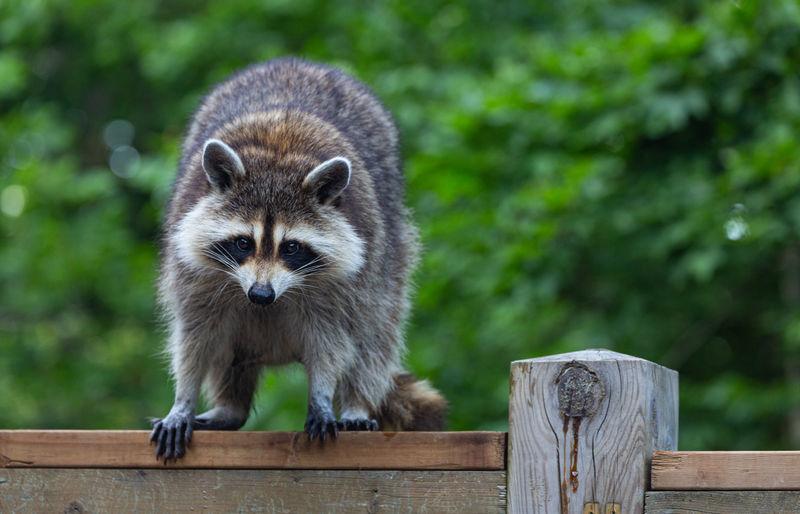 Portrait of a raccoon  on wood railing.