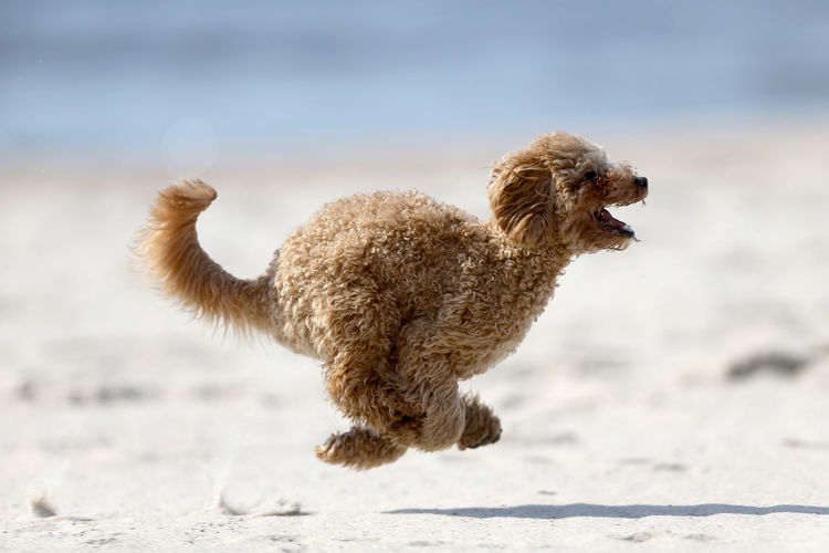 Side view of a dog running on beach