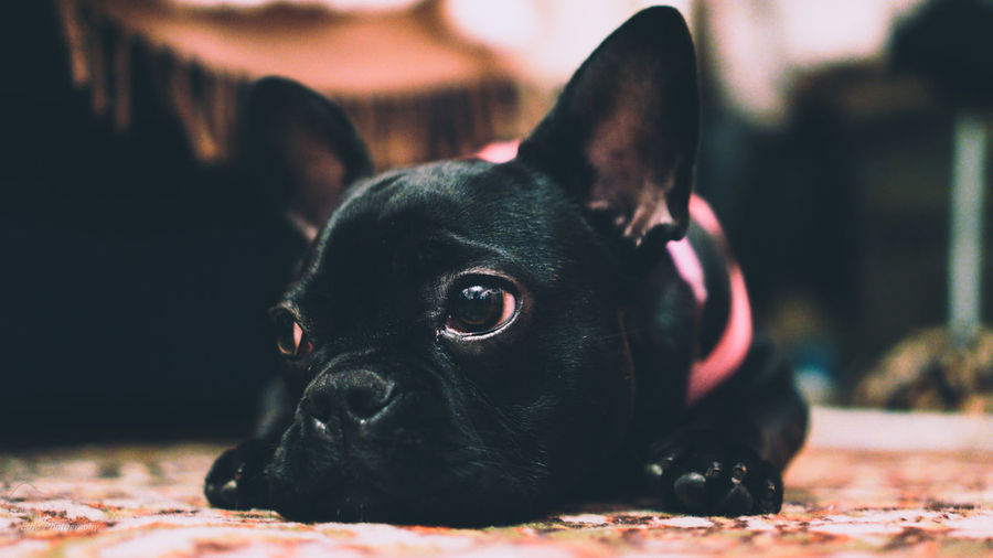 Pets Dog No People One Animal Domestic Animals Black Color Close-up 35mm Sony A6000 Dogs Of EyeEm Baby Sony Portrait Animal Themes