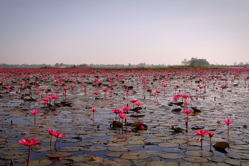 Everywhere there is a lotus Udon Thani Province Thailand Pink Lotus Lake Hong Han Kumphawapi Lake Kumphawapi Pink Lotus Nature Flower Beauty In Nature Leaf No People Tranquility Water Pink Color Petal Lake Outdoors Freshness Sky