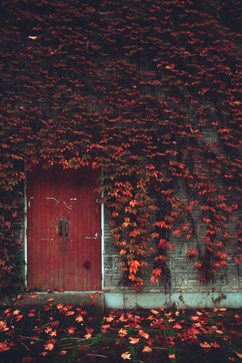 Autumn Built Structure Change Close-up Door Ivy Leaf No People